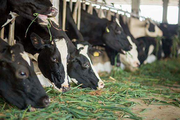 Mộc Châu Milk - Hành trình 60 năm gìn giữ nguồn sữa từ thảo nguyên